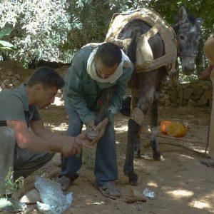 Les muletiers soignent leurs bêtes avec beaucoup d'attention et de patience