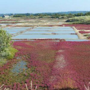 En automne, les salicornes prennent des teintes écarlates