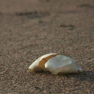 Une coquille vide de tortue marine sur la plage d'Awala Yalimapo