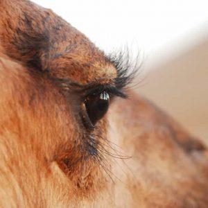 Les 2 rangées de cils du dromadaire protègent ses yeux