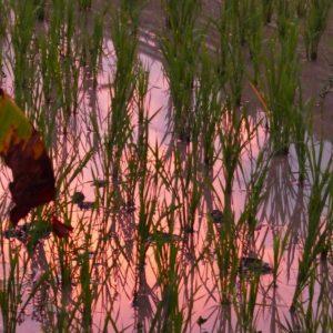 Une rizière à Tetebatu