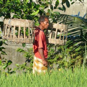 Dans une rizière à Tetebatu