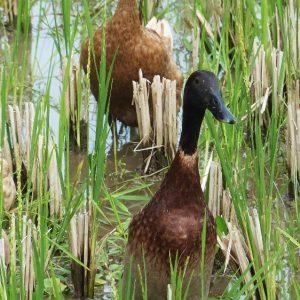 Des canards dans une rizière à Tetebatu