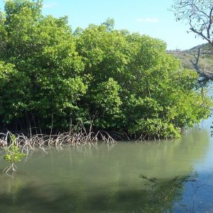 La mangrove de la Baie des Anglais Sainte Anne Martinique