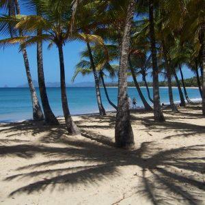 Cocotiers sur la plage des Salines Sainte Anne Martinique