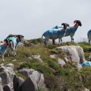 Les moutons bleus de Crossmount