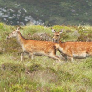 Faons hères, daguets, biches ou cerfs... on peut observer facilement des animaux sauvages  dans leur milieu naturel