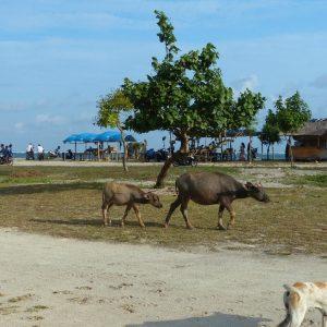Animaux sur la plage de Kuta
