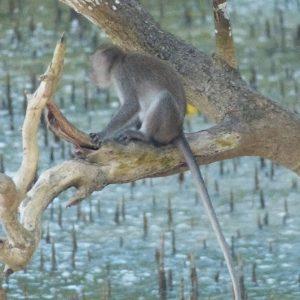 Singes dans un arbre surplombant la mangrove au bout de la plage de Kuta