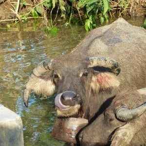 Lombok: les bœufs se baignent dans des mares de boue pour se rafraichir et se débarrasser des parasites