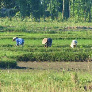 Travail dans une rizière près de Kuta Lombok