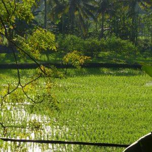 Une rizière près de Kuta Lombok