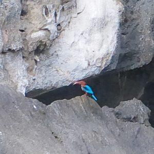 Un martin pêcheur à Tam Coc
